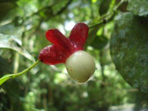 Heisteria silvianii 50
