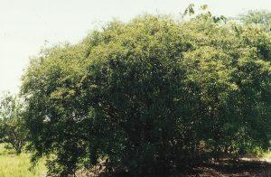 guabiroba planta