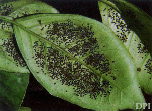 mosca-negra-dos-citros-2