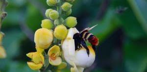 noticias-abelha-na-castanheira-do-brasil