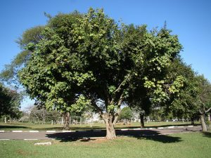 arvore-castanha-do-maranhao